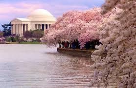 Cherry Blossom Washington D.C.
